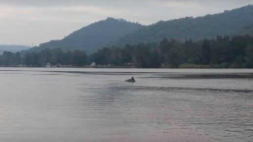 Dolphin sighted in the Hawkesbury River at Wisemans Ferry Sydney.