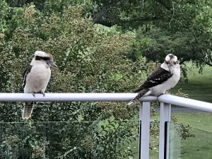 Kookaburras at Del Rio Riverside Resort
